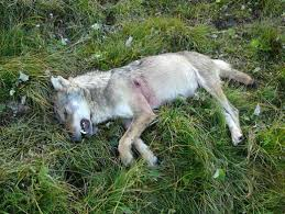 mort du loup