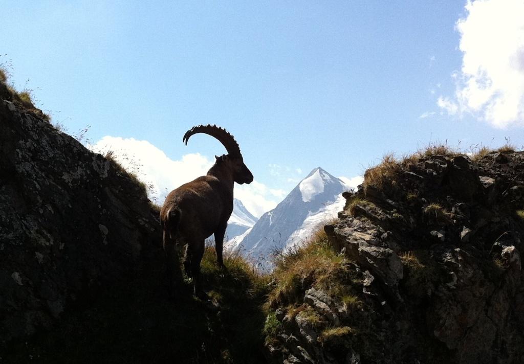 Bouquetin dans les Alpes